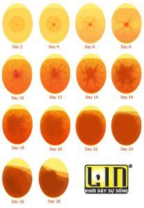 Trứng 28 ngày phát triển của vịt