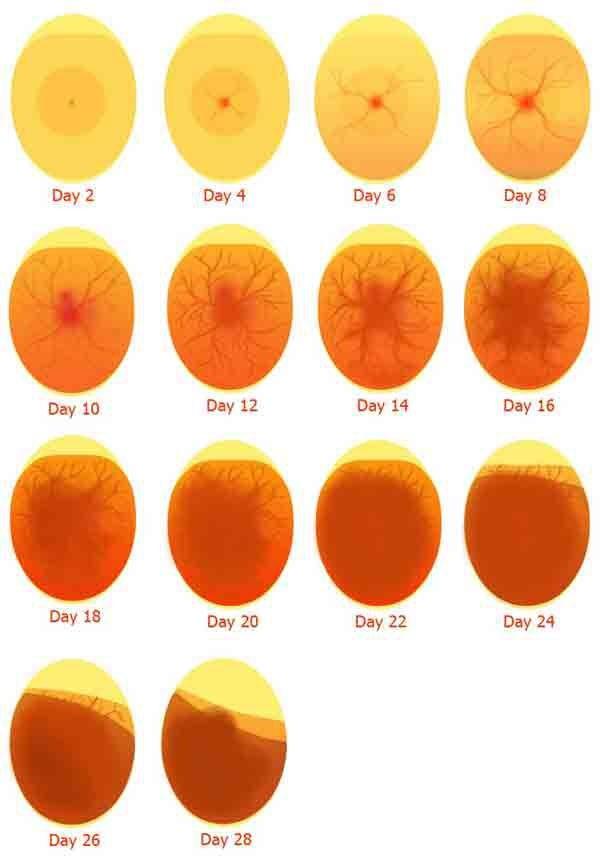 Cách nhận biết trứng gà có trống