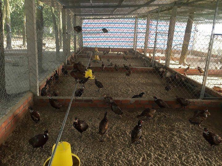 Kỹ thuật nuôi chim trĩ đẻ trứng